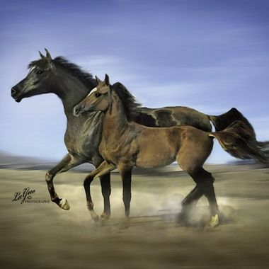 Emotional Arabian Mare & Foal dancing in sync in their turn out pasture