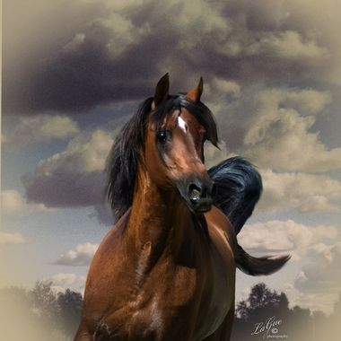 Arabian Stallion PB MaiKai a Kaiyoum Son standing at Stud in the central California Valley USA.