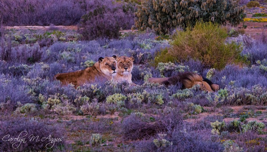 Just as we were about to return to the lodge we came across this small pride of lions in this bea...