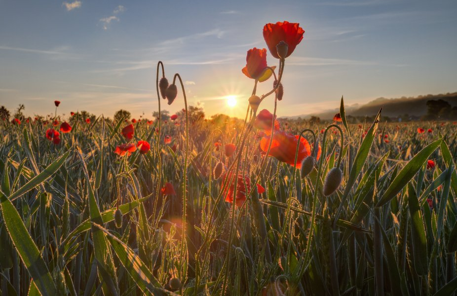 Did you know that corn poppy is a symbol flower for the British and French? As red as the blood that flowed in northern France during the First World War. Poppy contains 12x more calcium than milk, consists of 20% protein and a poppy flower produces 2.5 million pollen grains. A food source for insects and humans. But conventional agriculture in Germany is increasingly robbing plants and dependent insects of their living space.