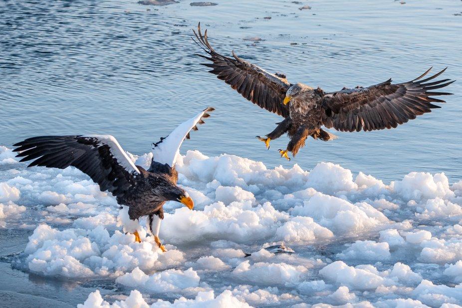 White Tailed Eagle Landing