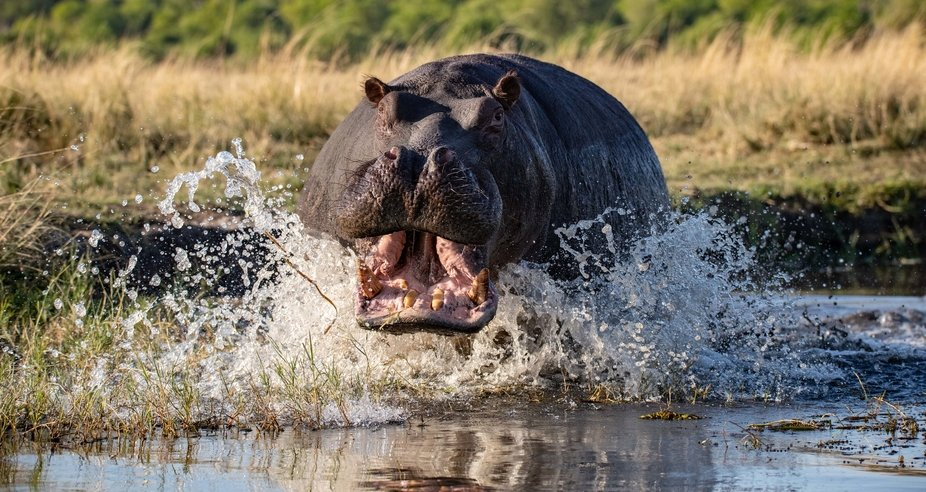A hippopotamus charging our boat on the chobe river in Botswana