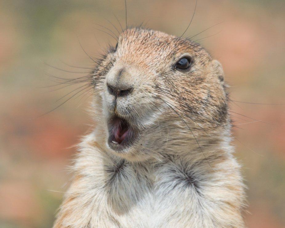 Prairie Dog, Theodore Roosevelt National Park, May 2020
