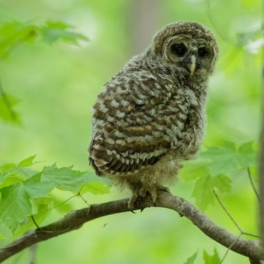 An adolescent Barred Owl.