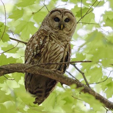 Male Barred owl