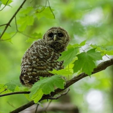 Adolescent Barred owl perched on a maple tree.