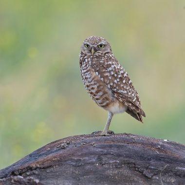 Burrowing Owl DSC06724