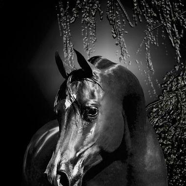 PORTRAIT of PB MaiKai Grand Champion Arabian Stallion shining in the Moon light