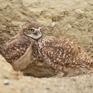 Intimate moment between the Burrowing Owl mom (right) and her only remaining offspring from this year (left).  Life is tough out there and anywhere.