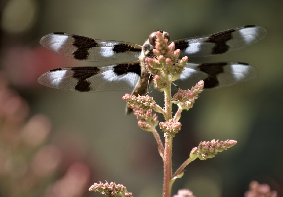 Twelve-Spotted Skimmer arriving in style with it's beautiful colors and patterns.