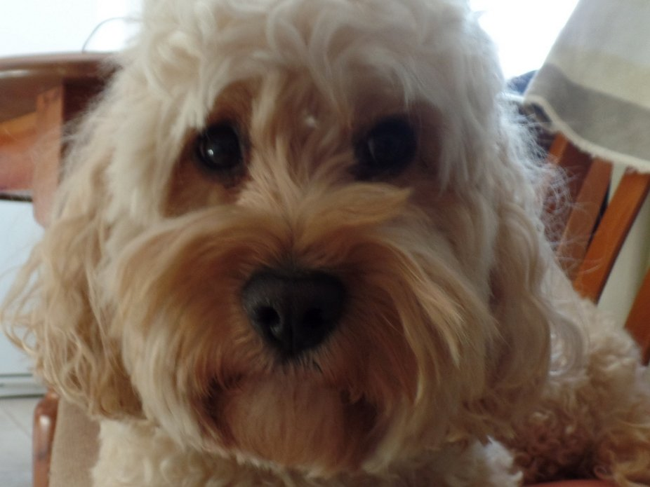 cockapoo face p1.JPG