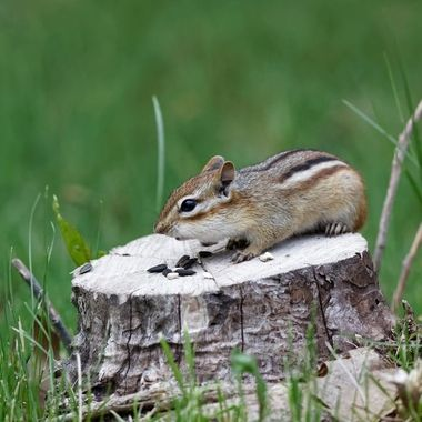 Chipmunk on the entrance to a local trail.  Couldn't seem to stuff it's cheeks fast enough.