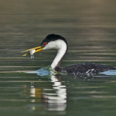 Western Grebe with fish DSC05967