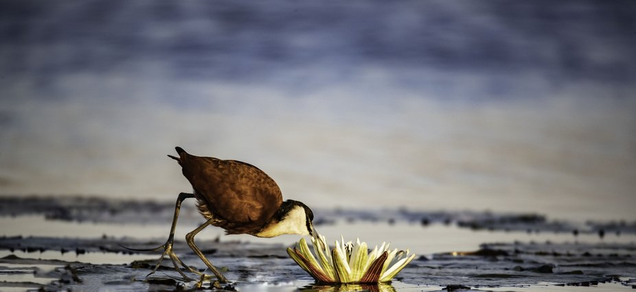 An African Jacana eating out of a flower on the river.