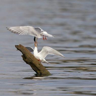 Foster Tern DSC07424
