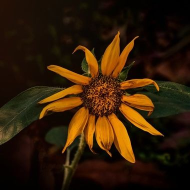 Golden Sunflower NW
