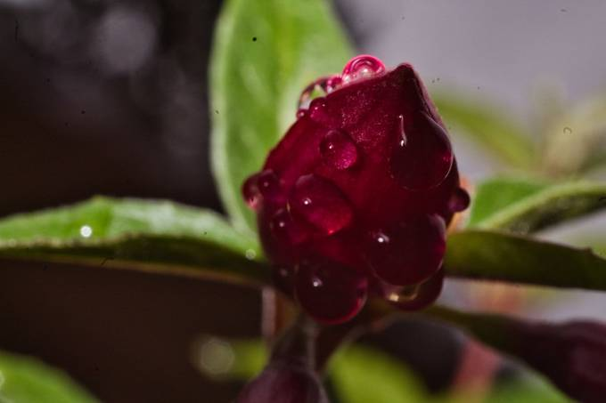 An amazing unexpected pink reflection on top of this closed fuchsia blossem