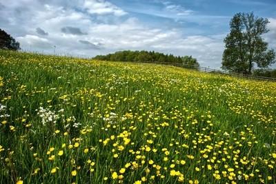 Buttercup field