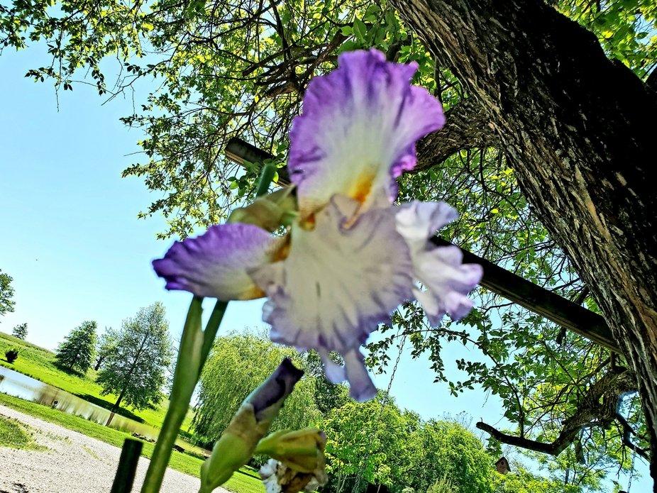 Iris after a rain