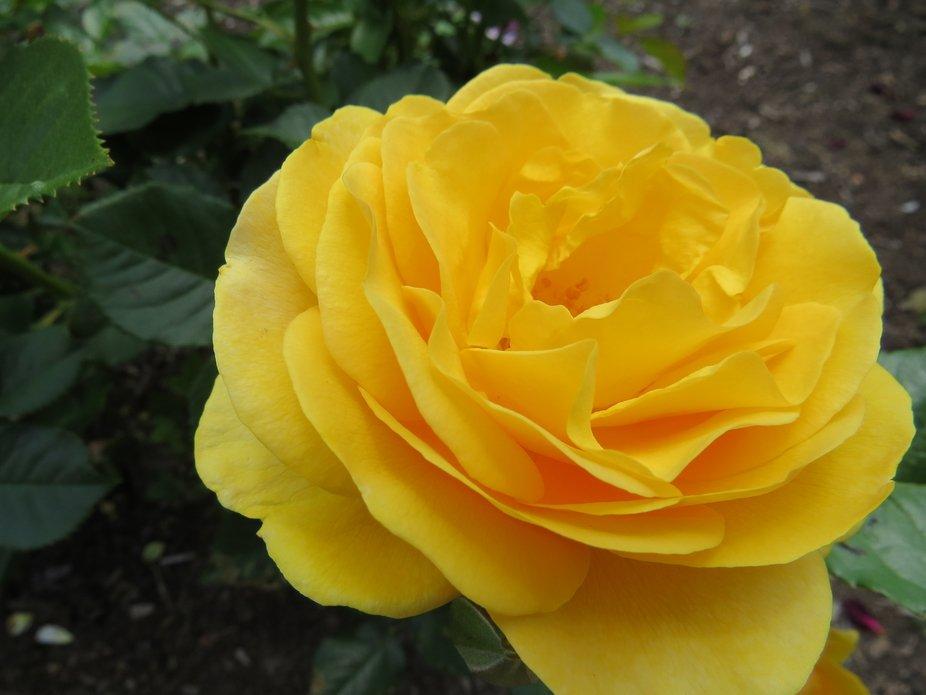 Stunning yellow rose captured, with zoom, in the Bishop's Garden (Washington, DC)