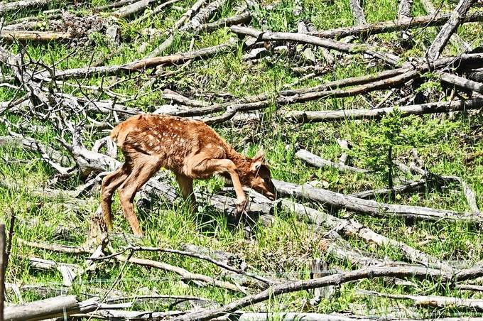 This young elk calf was still unsteady as it cautiously stepped over each obstacle!