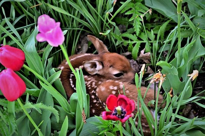 Not everyday you find a fawn in your flower garden!