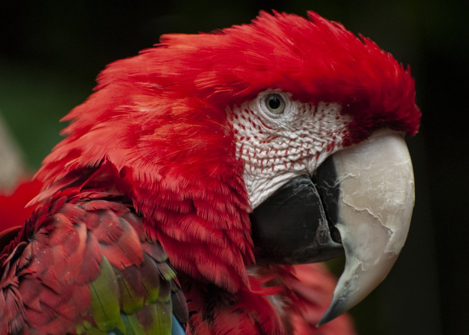 green-winged macaw 2