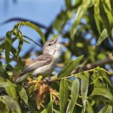 This endangered bird would not stop singing.