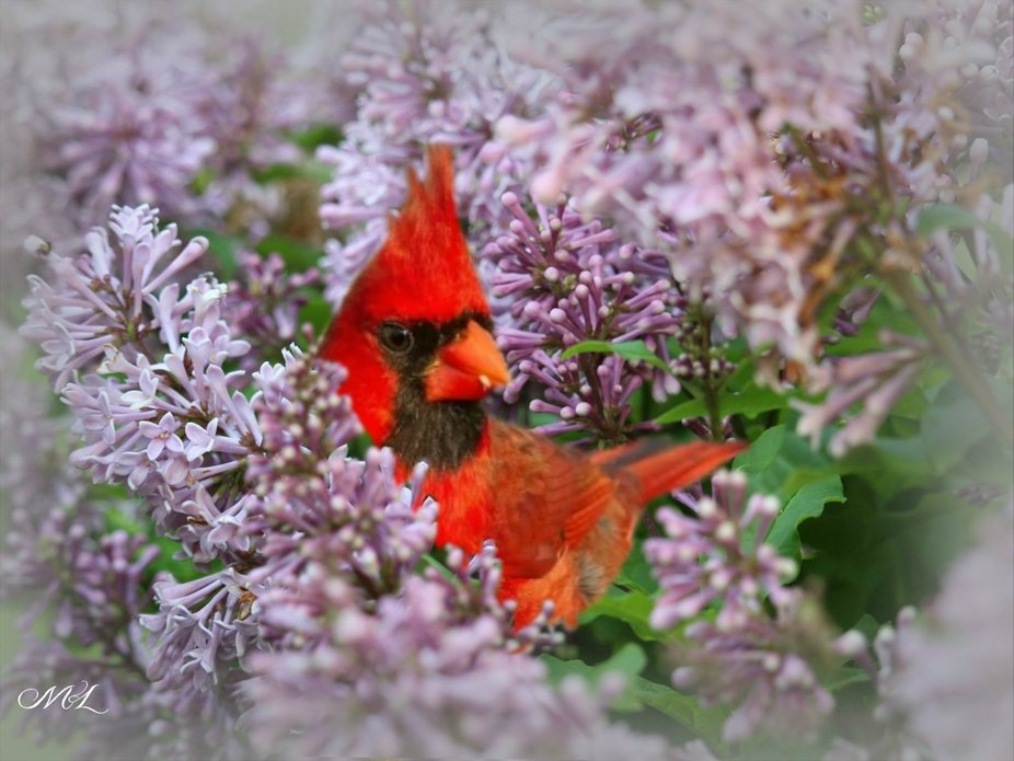 THE BEST CAPTURE OF THE DAY, A SPECIAL VISITOR IN OUR LILAC BUSH.