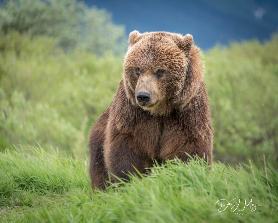 Grizzely Bear.