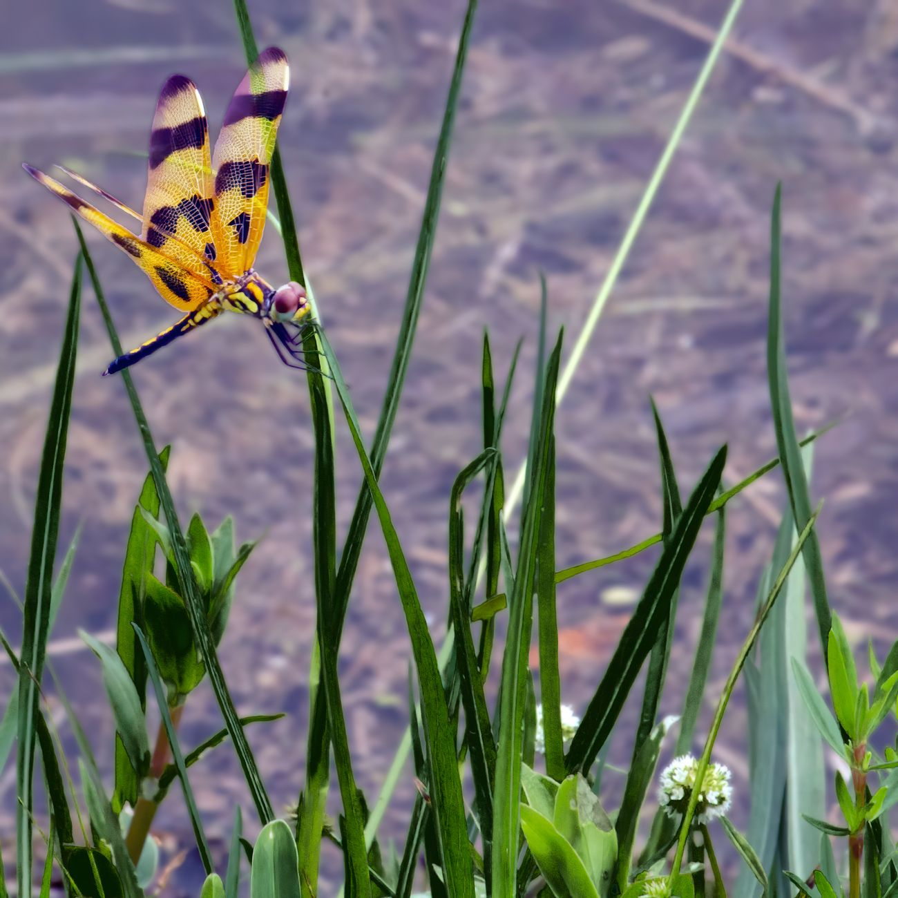 Yellow dragonfly resting on a grass blade at the edge of a lake.