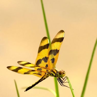 Yellow dragonfly resting on a blade of grass at the edge of a lake. The water reflects the light of a bright sunny day.