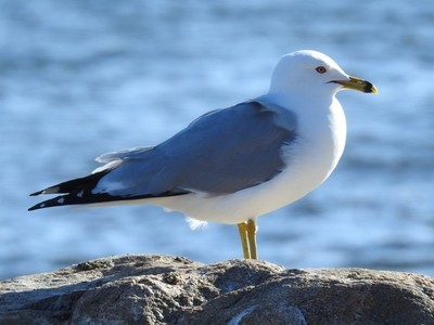 Seagull by the lake
