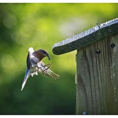 Feeding time - bluebird