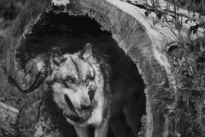 Wolf-IMG_Black&White