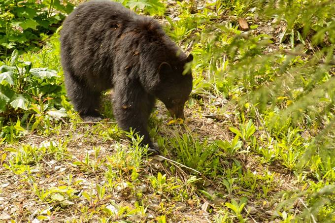 This is the 4th bear that has visited our little patch of unclaimed land.