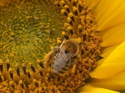 Tiny bee on sunflower closeup