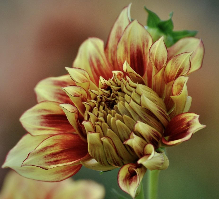 Love the color combination of yellow and orange/red in this dahlia that is just beginning to bloo...