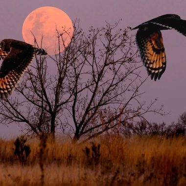 As the Strawberry Moon rose tonight it looked like the tree was holding it up. To add some unusual action  i composited the 2 Marsh owls to simulate a fly by they do when they meet each other in the filed while hunting.