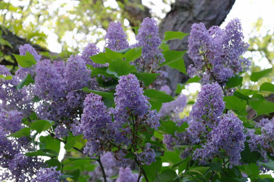 A beautiful morning and the lovely scent of lilacs created this photo moment.