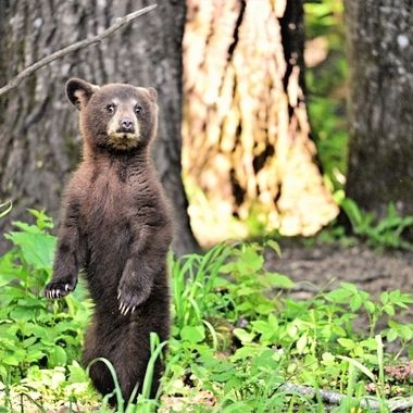 This spring cub was ripping around when it suddenly stood up and noticed me standing in front of it taking pictures!