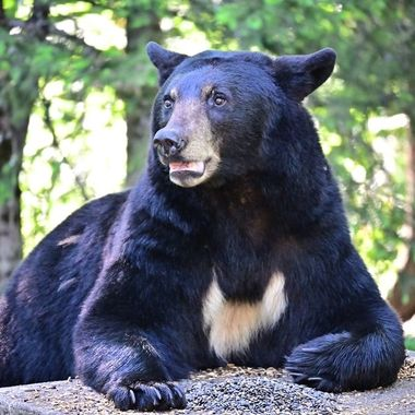Love the wings on this black bears chest