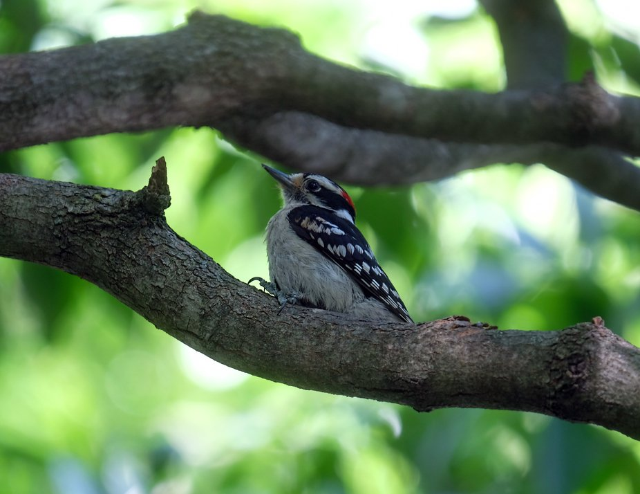 Downy Woodpecker4