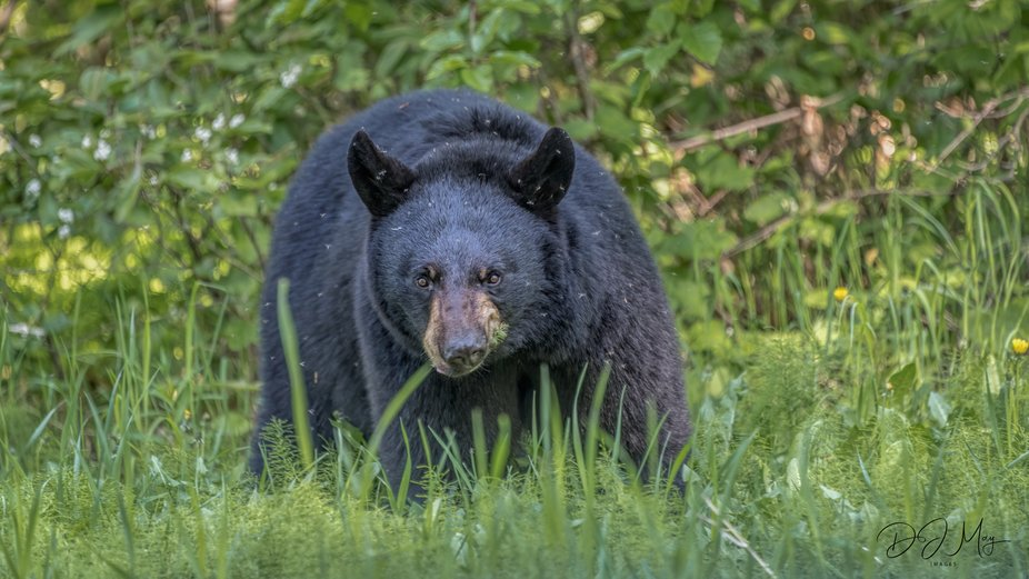 Black Bear covered in Mosquitoes.