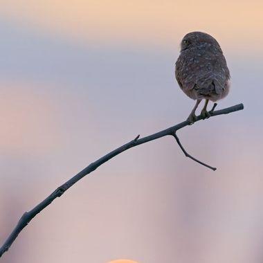 Burrowing Owl DSC04909