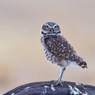 Burrowing Owl DSC04658