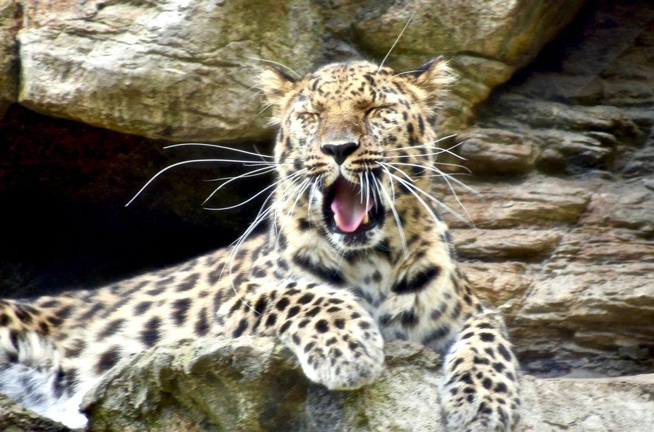 Amur Leopard, Freya