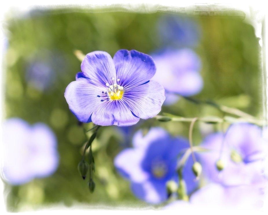 Flax Blossom..