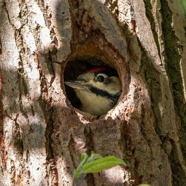 Young woodpecker in its nest, waiting for breakfast