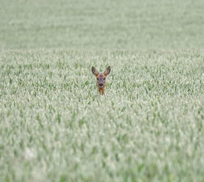 Peeka boo. Fickle deer posing in the Barley.